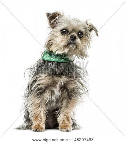 Cross-breed dog with bandana sitting, 18 months old, isolated on white