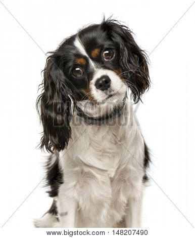 Cavalier King Charles Spaniel tilting head and looking at camera, 1 year old, isolated on white