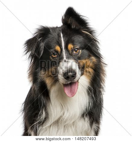 Close-up of Australian Shepard with one ear up, 4 years old, Isolated on white