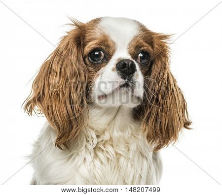 Close-up of Cavalier King Charles Spaniel, 1 year old, isolated on white
