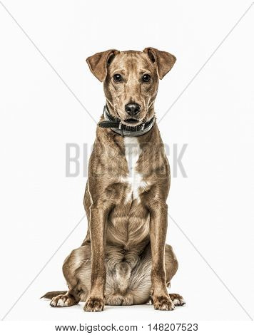 Cross-breed dog sitting, 11 months old, isolated on white