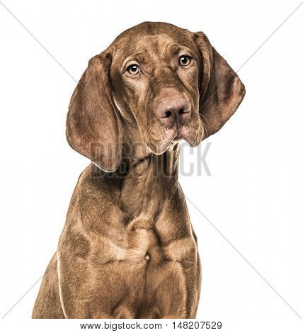 Close-up of Vizsla puppy, 6 months old, isolated on white