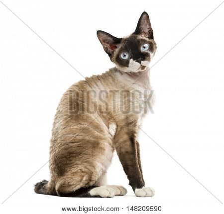 Side view of a Devon rex sitting and staring isolated on white