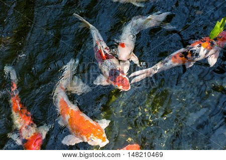 Koi fish in a pond close up