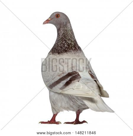 Rear view of a Texan pigeon isolated on white