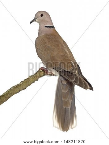 Rear view of an African collared dove perched and isolated on white