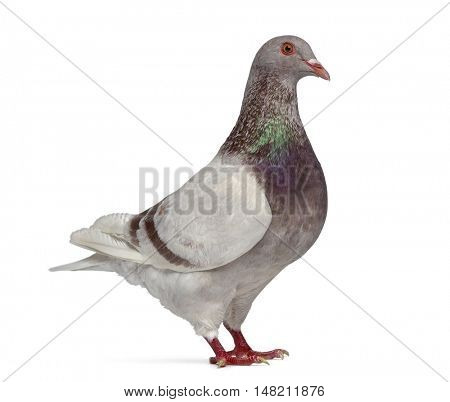 Side view of a Texan pigeon winking isolated on white