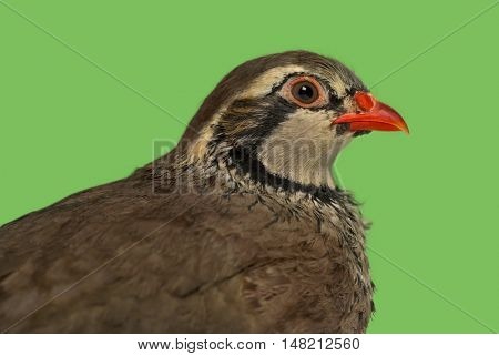 Close-up of a side view of Red-legged partridge, Alectoris rufa against green background