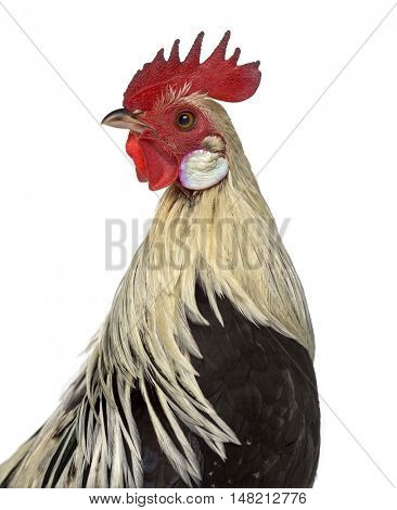 Close-up of a Phoenix chicken looking away isolated on white
