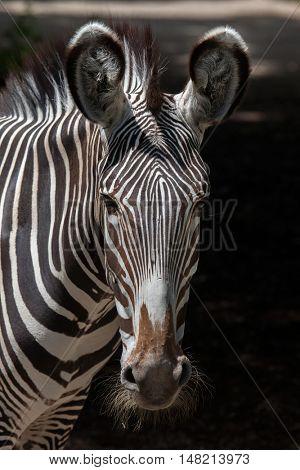Grevy's zebra (Equus grevyi), also known as the imperial zebra. Wildlife animal.