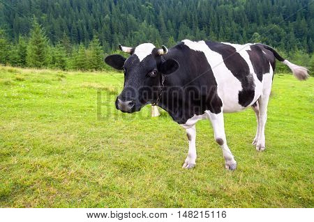 black and white cow with bell grazing on meadow in mountains. Cattle on a mountain pasture. Summer day. Cow in pasture. Mountain meadow. Green meadow in mountains and cow summer landscape.