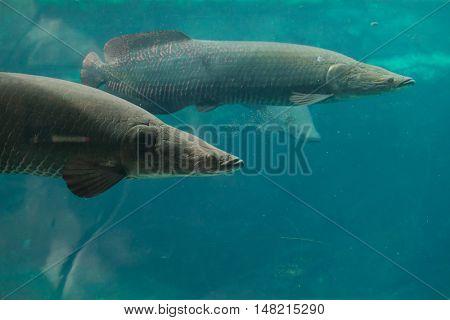 Arapaima (Sudis gigas), also known as the pirarucu. Wildlife animal.  poster