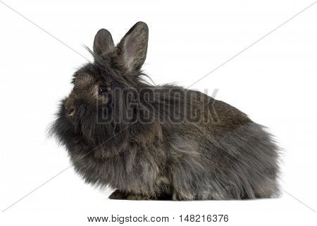Side view Mini Lop Rabbit isolated on white