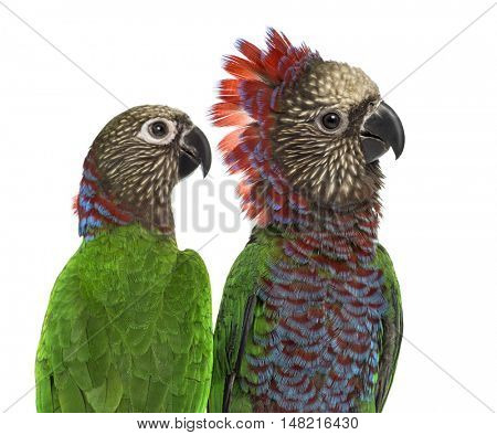 Close-up of a Couple of Red-fan parrot Deroptyus accipitrinus, isolated on white