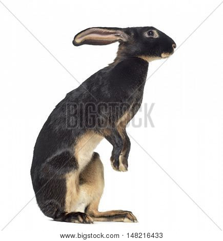 Side view of Belgian Hare on hind legs isolated on white