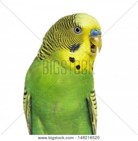 Close-up of Melopsittacus undulatus, also known as Budgie with beak open, isolated on white