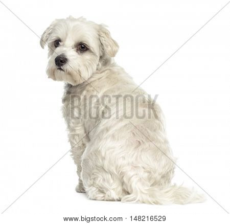 Rear view of a Bichon maltese dog isolated on white