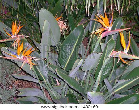 Bird Of Paradise Cactus