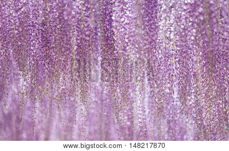 Beautiful wisteria bloomimg in end of spring season
