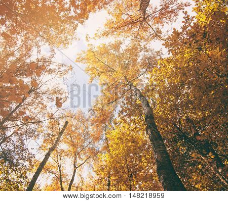 Yellow Autumn Trees And Blue Sky. Seasonal Nature Background. Photographed From Below