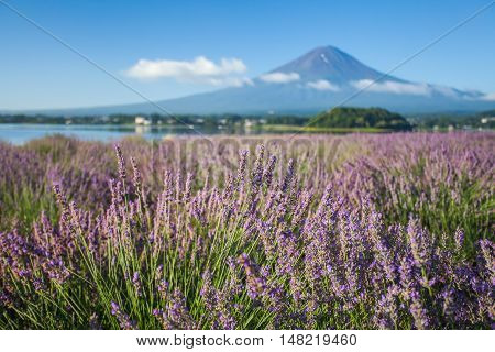 The purple color of lavender and Mountain Fuji in background near the shoreline of The Lake Kawaguchiko