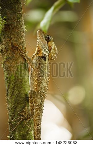 dragon in Queensland Australia. animal in wild.