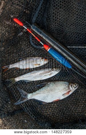 Several Ablet, Roach And Bream Fish On Fishing Net. Fishing Rod With Float And Fishing Net As Backgr