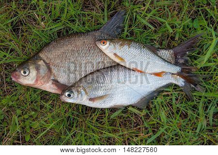 Several Common Bream Fish And Silver Bream Or White Bream Fish, Roach Fish On Green Grass. Catching