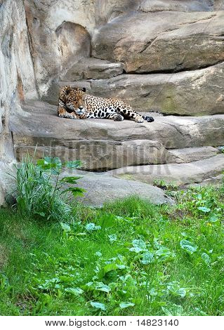 Leopard in the Moskow zoo