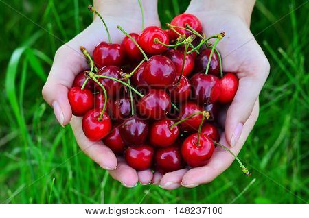 Full palm ripe cherries close-up on a background of green grass