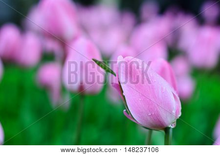 Background of pink tulips. Closed flowers in the foreground with drops birth on the bud
