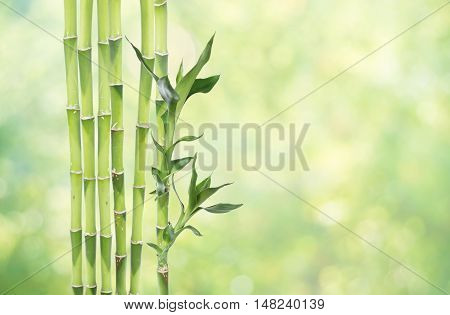 Several stem of Lucky Bamboo (Dracaena Sanderiana) with green leaves on natural background with copy-space