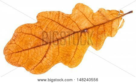 Yellow Dried Leaf Of Oak Tree Isolated On White