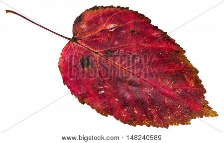 Red Dead Leaf Of Ash-leaved Maple Tree Isolated