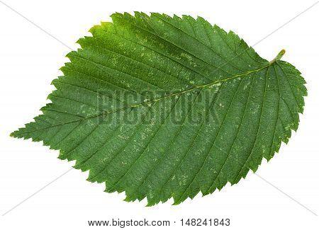 Fresh Leaf Of Elm Tree Isolated