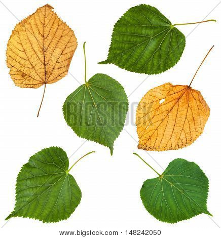 Set From Green And Yellow Leaves Of Lime Tree