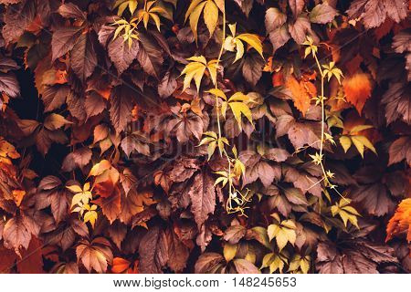 Colorful Autumn Virginia Creeper, Wild Grape Background. Abstract Purple, Red and Orange Autumn Leaves Background. Purple Leaves Creeper Plant On A Wall