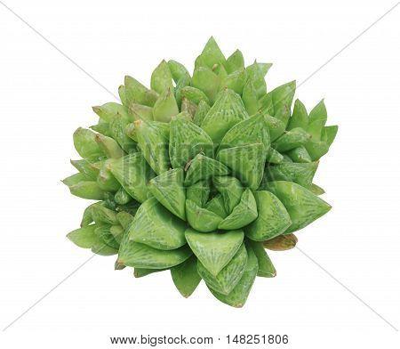 Succinct green foliate cactus on white background