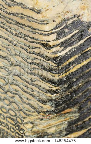 Texture of Mammoth jaw tooth 40,000 years old