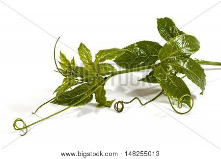 Green Leaves And Curling Tendrils Of The Granadilla Vine