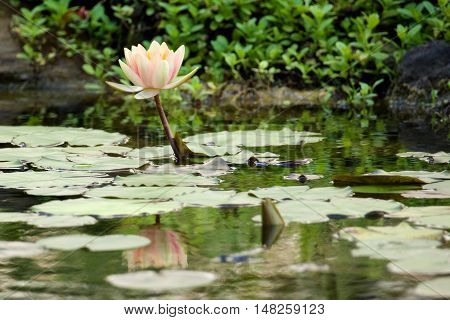 Pale pink and yellow water lily flower and its reflection amongst the lily pads in a pond.