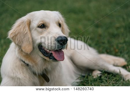 Lportrait Of White Labrador Retriever Lying On Green Grass In The Park