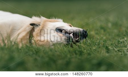White Labrador Retriever Lying On Green Grass In The Park