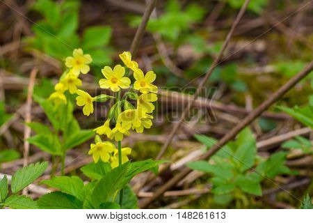 yellow cowslip in the camp summer with tree