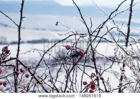 frozen briar with snow in the winter