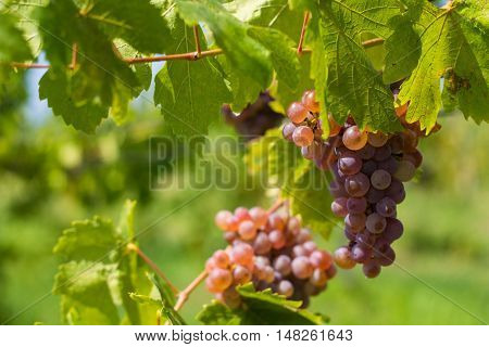 blue wine grape in the vineyard with green folio