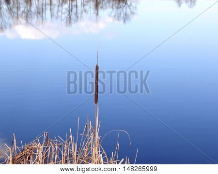 The reed mace which grows in colonies