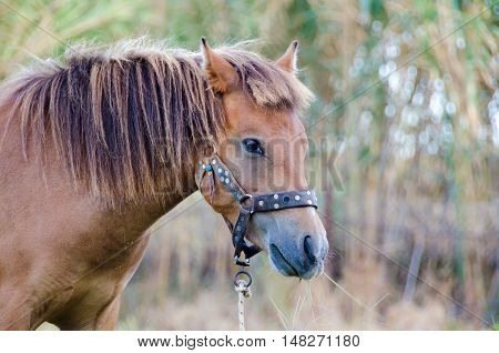 The small bodied greek Skyrian horse is one of the rarest horse breeds in the world.Skyros island Greece