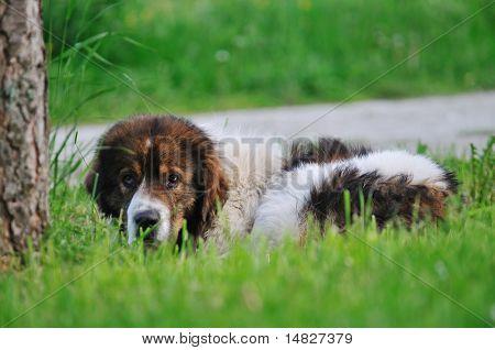old sick dog lie and sleep on grass