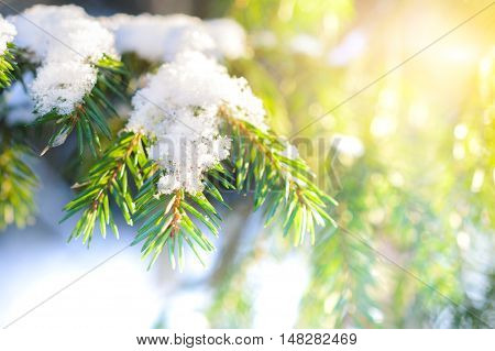 Spruce twig with frozen ice droplets. Illuminated low winter sun. Winter forest.